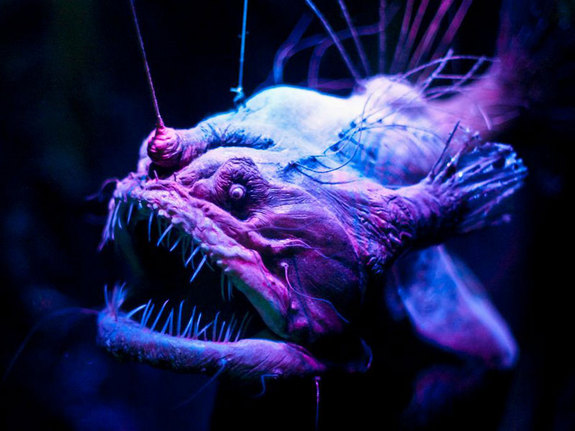 anglerfish from livescience.com